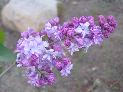 Idyllwild lilacs begin to bloom