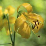 The lemon lily's triumphant return