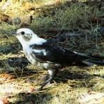 Rare Brewer's blackbird spotted