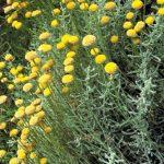 Idyllwild Garden: Lavender cotton