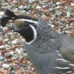 California quail stops in