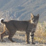Bobcat wanders through