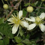Chaparral Clematis blooms April to May