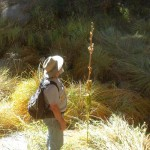 Idyllwild Botany: Travails of a lemon lily …