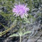 Butterfly Mint Bush makes an appearance