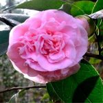 Camelias go center stage for winter blooms