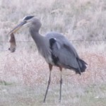 Blue heron lunch