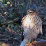 Sharp-skinned hawk spotted