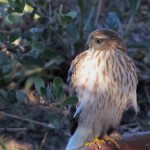 Sharp-skinned hawk spotted