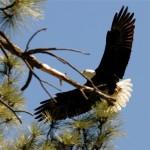 Bald eagle a treat for Lake Hemet counters