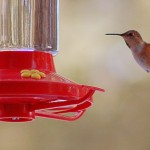 Hummingbirds out and hungry