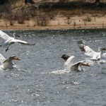 Pelicans stop off in Garner Valley