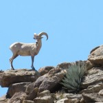Big horn sheep sighting
