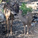 Oh, deer …