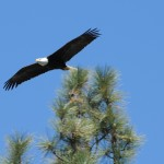 Bald eagles spotted in Southern California