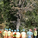 CAL FIRE removes infected Idyllwild oak