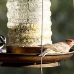 Residents welcome finches