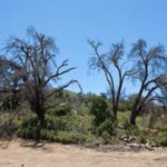 Forest Service response to oak borer in San Diego County