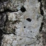 Gold spotted oakborer still present and threat to oaks