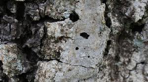 D-shaped exit holes indicating infected tree.  Photo courtesy of University of California