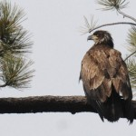 Bald eagle count continues Feb. 9: Volunteers needed