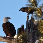 Bald eagle counts continue Saturday