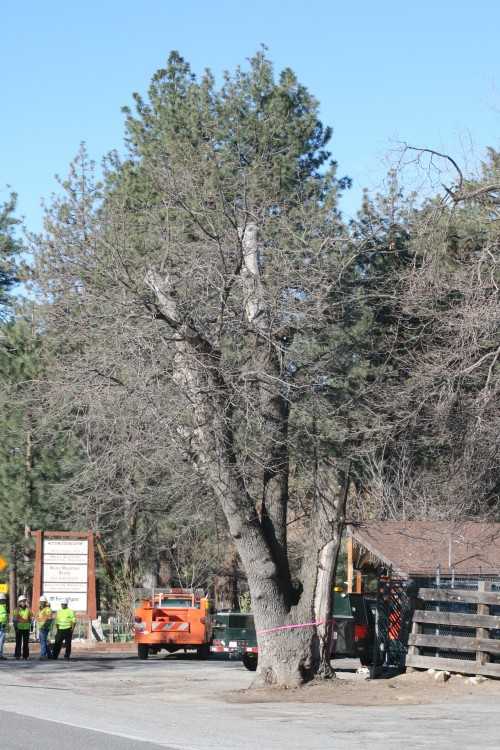 GSOB-infested tree near Chevron station, Idyllwild.