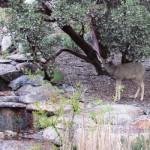 Deer in Mountain Center