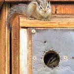 Chipmunks displace chickadees