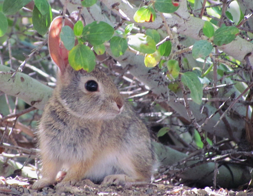 A young rabbit rests under a lilac bush. Photo by Doris Jean Lombard