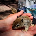 County Park employee holds Sully, a baby ground squirrel. Photos by Bruce Watts