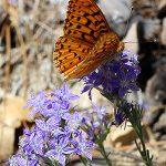 Outside Idyllwild: Butterflies of Idyllwild …