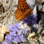 Outside Idyllwild: Butterflies of Idyllwild …
