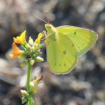 Outside Idyllwild: Wildflower report, June 2013, part 2 …