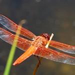 Red dragonfly at Lake Fulmor