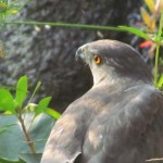 Sharp-shinned hawk sighting