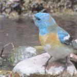 Lazuli Bunting visits Mountain Center pond