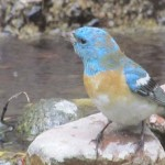 Lazuli Bunting visits Mountain Center pond