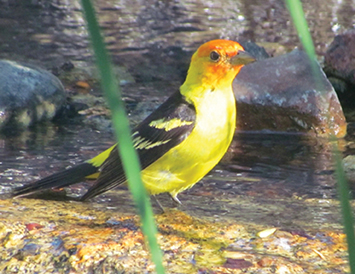 Above and below: Flashes of yellow and orange contrast against green foliage where several Western Tanagers visit Mountain Center for water.
