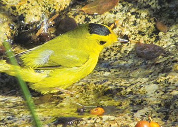 A rare bird, the Wilson's Warbler, is a yellow flash against the green cedars. Its small size is evident when compared to the Manzanita berry in the water.
