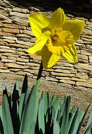 More than a week ago, the unusually warm and spring-like winter weather encouraged daffodils to bloom in Mountain Center. Photo by Doris Lombard
