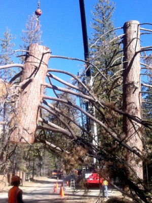 This dead tree was about 250 years old. Last Wednesday, Southern California Edison's contractor, Pino Tree Service, removed the tree after several hours of work by taking down sections to avoid danger to power lines along Tollgate Road. Riverside County Transportation assisted in traffic control and removed the remaining stump the following day because of its proximity to the road.