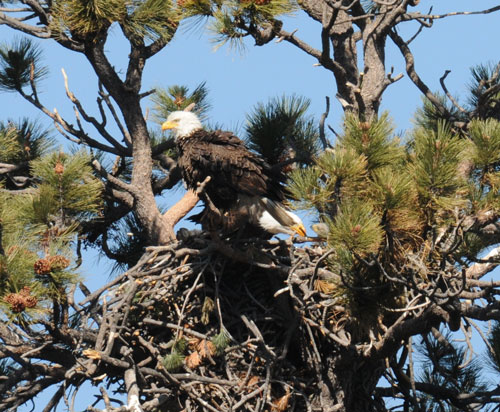 Above, a bald eagle is feeding one of two chicks that hatched in early February near Big Bear Lake.Unfortunately, the chicks did not survive the severe rain and snow storms at the end of February. Photo courtesy of San Bernardino National Forest