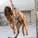 Search and rescue dog harness tested
