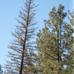 Another threat to local pines