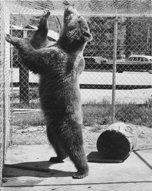 A Russian brown bear in a cage at Snow White Laundy in the 1960s. Laundry owner Bill Neuhoff owned the bear. Clarence Bischof, owner of the Lumber Company, shared the cost of upkeep. File photo