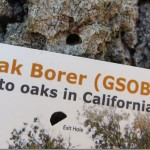 Oak borer infestation not  an epidemic on the Hill: Much more damage cited  in San Diego County