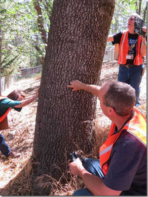 The annual Mountain Communities Fire Safe Council inspections of oaks for Goldspotted oak borers began in June. Here, Aida Quiles (left), Ron Perry (back) and Eliott Taylor (right) inspect a black oak for more D-shaped GSOB exit holes     Photo by Doris Lombard
