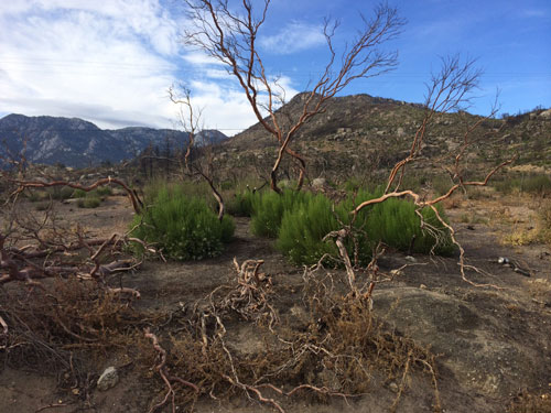 New green vegetation is beginning to grow in the area blackened and denuded from the Mountain Fire last July. Photo by Marshall Smith