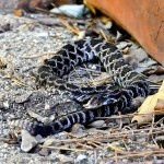 Rattlesnake vaccine may reduce risk of death in dogs
